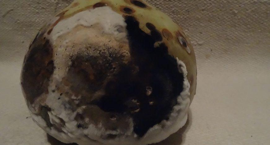 Calabaza secandose con moho