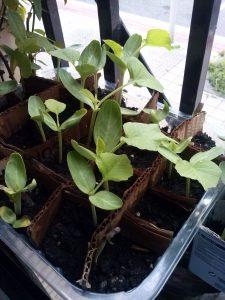 plantas de calabaza creciendo en semillero