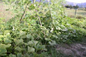 Lagenaria siceraria en la huerta